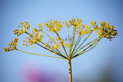 Detail of dill flowers (close-up). Dill (Anethum graveolens) in garden. Florescence fennel seeds with ripe autumn Stock Images