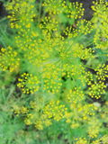 Detail of dill flowers (close-up). blurred background. Dill (Anethum graveolens) in garden. Florescence fennel seeds with ripe autumn Stock Image
