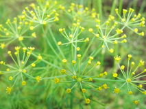 Detail of dill flowers (close-up). blurred background. Dill (Anethum graveolens) in garden. Florescence fennel seeds with ripe autumn. Dill, fennel; yellow stock photo