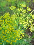 Detail of dill flowers (close-up). blurred background. Dill (Anethum graveolens) in garden. Florescence fennel seeds with ripe autumn Stock Photo