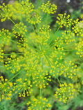Detail of dill flowers (close-up). blurred background. Dill (Anethum graveolens) in garden. Florescence fennel seeds with ripe autumn Royalty Free Stock Photos