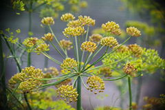 Detail of dill flowers (close-up). blurred background. Dill (Anethum graveolens) in garden. Florescence fennel seeds with ripe autumn. Dill, fennel; yellow royalty free stock images