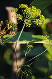 Detail of dill flowers (close-up). blurred background. Dill (Anethum graveolens) in garden. Florescence fennel seeds with ripe autumn stock photos