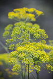 Detail of dill flowers (close-up). blurred background. Dill (Anethum graveolens) in garden. Florescence fennel seeds with ripe autumn Stock Images