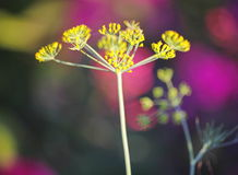 Detail of dill flowers (close-up). blurred background. Dill (Anethum graveolens) in garden. Florescence fennel seeds with ripe autumn. Dill, fennel; yellow royalty free stock photos