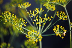 Detail of dill flowers (close-up). blurred background. Dill (Anethum graveolens) in garden. Florescence fennel seeds with ripe autumn. Dill, fennel; yellow stock image