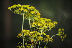 Detail of dill flowers (close-up). blurred background. Dill (Anethum graveolens) in garden. Florescence fennel seeds with ripe autumn Royalty Free Stock Images