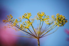Detail of dill flowers (close-up). blurred background. Dill (Anethum graveolens) in garden. Florescence fennel seeds with ripe autumn. Dill, fennel; yellow stock photography