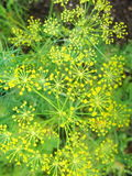 Detail of dill flowers & x28;close-up& x29;. blurred background Royalty Free Stock Photography
