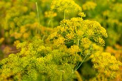 Detail of a dill kitchen herb. Royalty Free Stock Image
