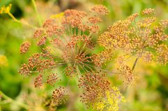 Detail of a dill kitchen herb. Royalty Free Stock Photo