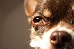 Detail of dog eye Stock Images