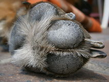 Detail dog paws. Closeup view of a dog paw Royalty Free Stock Photography