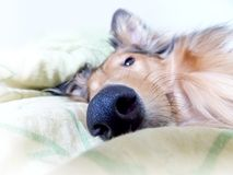 Detail of dog snout Stock Photography