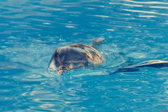 Detail of dolphins swimming in large pool. Animal in captivity stock image