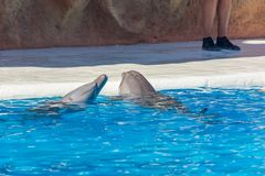 Detail of dolphins swimming in large pool. Animal in captivity royalty free stock photos