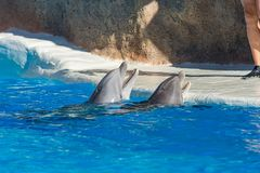 Detail of dolphins swimming in large pool. Animal in captivity stock photography