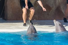 Detail of dolphins swimming in large pool. Animal in captivity stock photo