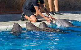 Detail of dolphins swimming in large pool. Animal in captivity stock photos