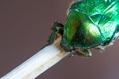 Detail of dotted armature of green smaragd beetle Royalty Free Stock Images
