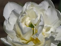 Double White Tulip Detail in Sunlight stock photo