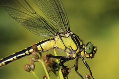 Detail dragonfly sitting on plant. Detail dragonfly sitting and resting on plant Stock Photos