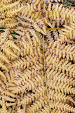Detail of the dried leaves of fern Stock Photo