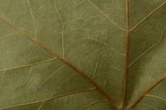 Detail of a dry leaf Royalty Free Stock Photography