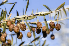 Detail of dry olive branch Stock Photos