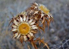 Detail of dry thistle. And leaves Stock Images