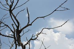 Detail of a dry tree. Background bare bark blue tree branch bright broken Royalty Free Stock Photography