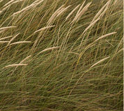 Detail of Dune Grass. Royalty Free Stock Image