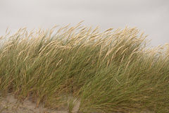 Detail of Dune Grass. Royalty Free Stock Images
