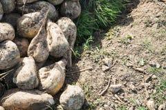 Heap sugar beets stock photo