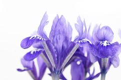 Detail of dwarf iris blossom Royalty Free Stock Images