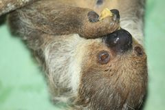 Linne two-toed sloth. The detail of eating Linne two-toed sloth Royalty Free Stock Images
