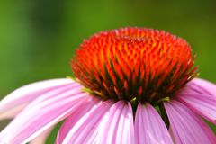 Detail of echinacea flower Royalty Free Stock Photo