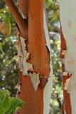 Detail einer Barke des Eukalyptus, Teneriffa, Kanarische Inseln, Spanien, Europa stockfoto