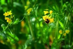 Detail einer Biene auf einem gelben Blumengebiet Stockfoto