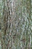 Detail einer Birnenbaumrinde mit kleiner Moosbedeckung, vertikal Stockfotografie