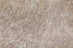 Detail einer Haut eines Kuh-Beschaffenheits-Hintergrundes Stockbild