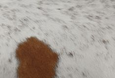 Detail einer Haut eines Kuh-Beschaffenheits-Hintergrundes Stockfotos