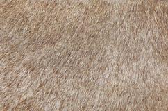 Detail einer Haut eines Kuh-Beschaffenheits-Hintergrundes Lizenzfreie Stockfotografie