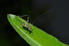 Detail einer jungen kleinen Heuschrecke, die auf grünem Blatt sitzt Lizenzfreies Stockbild