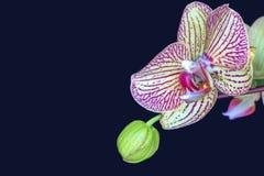 Detail einer Orchideenblüte und -knospe Lizenzfreies Stockbild