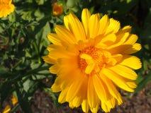 Detail einer Ringelblume (Calendula) Stockfoto