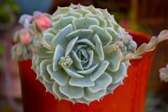 Detail einer saftigen Anlage Blume der saftigen Anlage Stockfoto