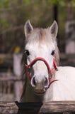 """Detail eines Camargue-Pferds von der """"Isola della Conaâ€- natürlichen Reserve (Friuli, Italien) lizenzfreie stockfotos"""