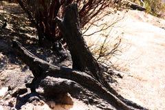 Detail eines gebrannten Baums nach einem Busch gesehen in Kalifornien lizenzfreie stockbilder
