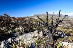 Detail eines gebrannten Baums nach einem Bushfire gesehen an Kasteelspoort-Wanderweg Lizenzfreies Stockbild